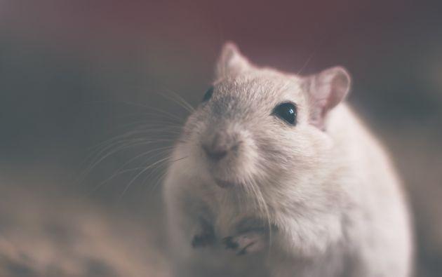 Los roedores que llegaban del espacio tuvieron descendencia sin problemas de salud. Foto: Pixabay.