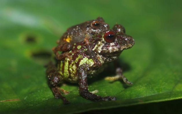 Expertos estudian 4 posibles nuevas especies de ranas, 1 de araña, 2 de hormigas, 4 de murciélagos y 2 de peces. Foto: Facebook.