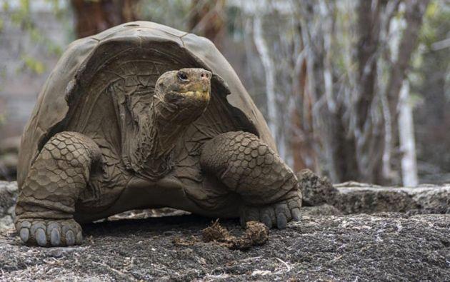 El programa ha permitido que varias poblaciones de tortugas gigantes se recuperen. Foto: AFP.