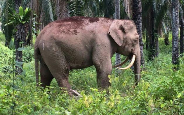 Los elefantes pigmeo están en peligro de extinción por la caza furtiva de sus colmillos. Foto: AFP.