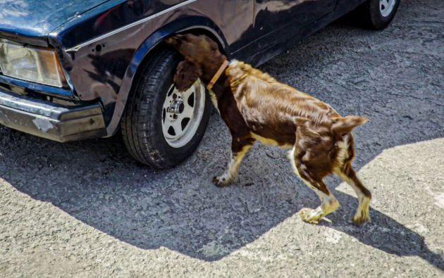 """Para actualizar la """"biblioteca olfativa"""" de los animales, los expertos emplean un solo método: hacerlos jugar. Foto: AFP."""