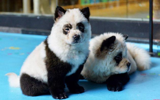 El café Cute Pet Games en China cuenta con perros teñidos como osos panda. Foto: AFP.