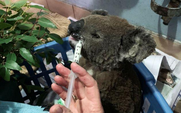 Este koala llamado Anwen resultó con varias quemaduras a causa de la ola de incendios en Australia. Foto: Reuters.