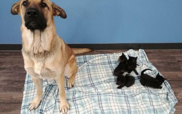 No está claro cómo o qué unió a 'Serenity' y los gatitos de cinco semanas de edad. Foto: AFP