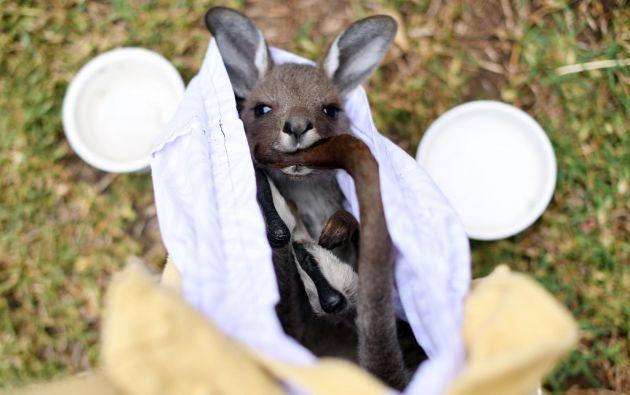 """""""Suerte"""" es un bebé canguro que milagrosamente sobrevivió en la bolsa de su madre moribunda a los incendios forestales. Foto: AFP."""