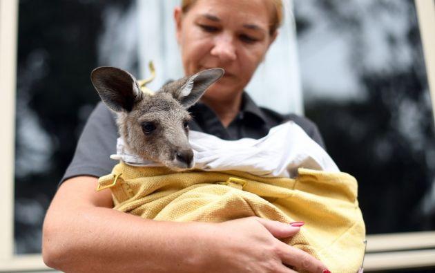 Voluntarios bolivianos elaboraron nidos que simulan el vientre de las mamás canguros. Foto: AFP.