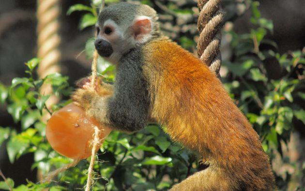Los micos fueron los primeros en ser refrescados con helados con trozos de frutas. Foto: Zoológico Santa Fe Medellín.