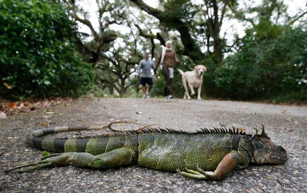 La ola de frío en Florida ha provocado que varias iguanas se caigan de los árboles, pero no significa que estén muertas. Foto: Reuters.