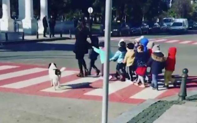 El perro, de 4 años, ayuda a los niños a cruzar la calle obligando a los conductores a frenar.