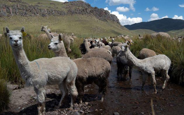 A diferencia de la investigación en llamas, los anticuerpos de alpaca ayudarían a combatir y a diagnosticar el virus. Foto: AFP.