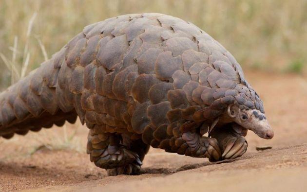 Un estudio señala que esta variante evolutiva puede dar pistas de por qué este animal no desarrolla síntomas de la enfermedad.