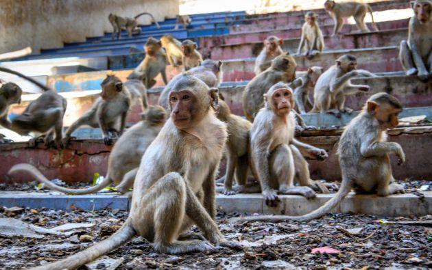 En tres años, su población se multiplicó por dos y 6.000 macacos cohabitan hoy con 27.000 humanos en la ciudad. Foto: AFP