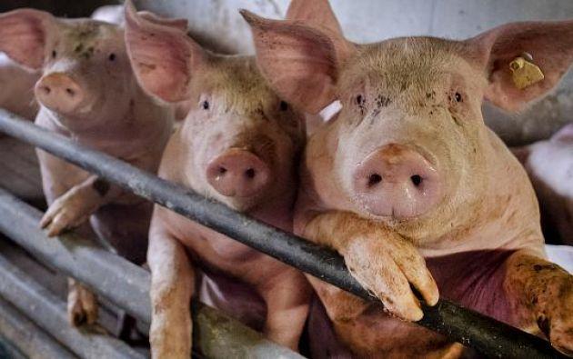 El virus se llama G4 y desciende genéticamente de la cepa H1N1. Foto: AFP.