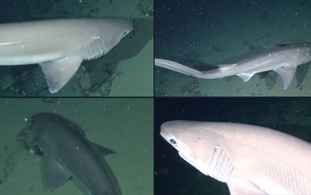 Identificaron a un tiburón de siete branquias (Notorynchus cepedianus) y otro de seis (Hexanchus griseus), en las aguas de las islas Floreana y Española.