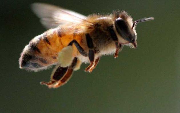 La polinización que realizan las abejas es esencial para la reproducción de las angiospermas, el grupo más numeroso, diverso y exitoso de las plantas que se encuentran en todas las regiones del planeta.
