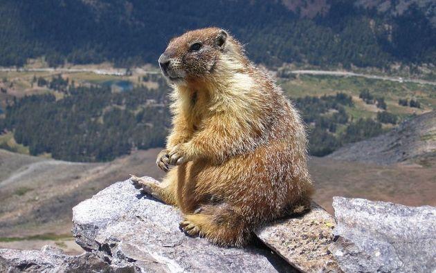 La investigación se llevó a cabo durante 5 años con cuatro poblaciones de marmotas. Foto: EFE