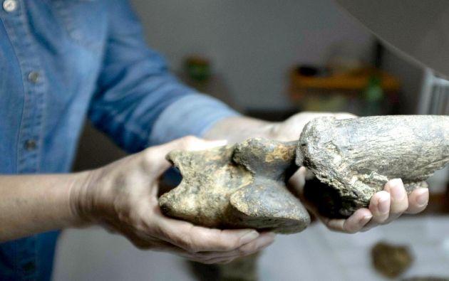 La geóloga experta en paleontología de vertebrados del Museo Nacional de Costa Rica, Ana Lucía Valerio, examina fósiles de un perezoso gigante, en San José (Costa Rica). Foto: EFE