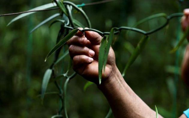 La vainilla es la segunda especia más cara después del azafrán. Foto:EFE