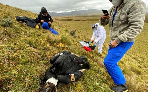 """Fotografía cedida por el Ministerio de Ambiente, que muestra al cóndor """"Iguiñaro"""", que apareció muerto el 11 de septiembre de este año luego de tres meses de haber sido liberado de un centro de rehabilitación,en Quito"""