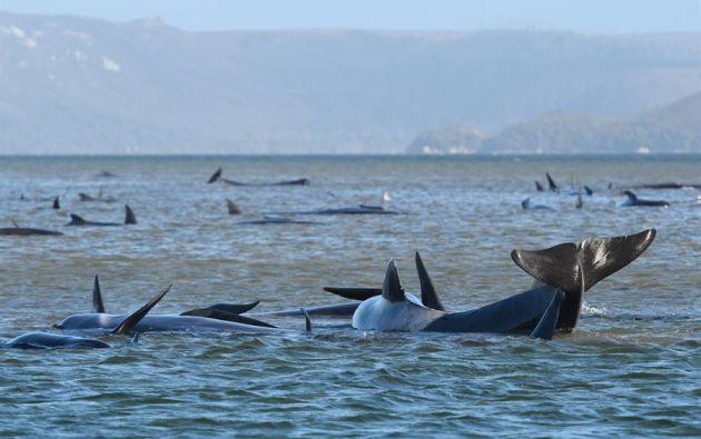Cerca de 275 ballenas piloto se encuentran varadas en la remota isla de Tasmania en Australia. Foto: EFE.