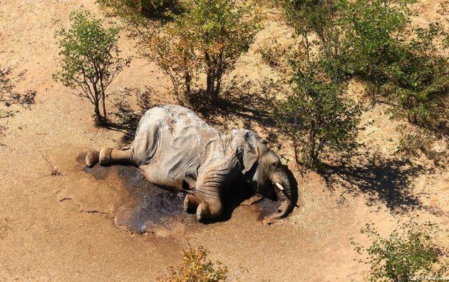 Una cianobacteria fue la causa de la misteriosa muerte de unos 300 elefantes. Foto: EFE.