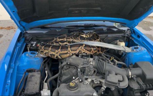La FWC publicó en las redes una foto de la serpiente enroscada en la parte delantera del vehículo.