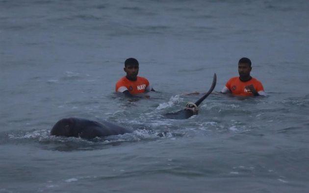 """La bióloga marina Asha de Vos, que ayudó a los voluntarios a dirigir a las ballenas más allá de los arrecifes, explicó que fue """"una operación muy dura"""". Foto: EFE."""
