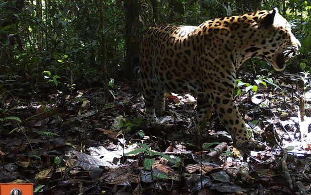 De acuerdo con la UICN, solo quedan 64.000 ejemplares en vida silvestre, el 90 % de ellos en la Amazonía. Foto: EFE