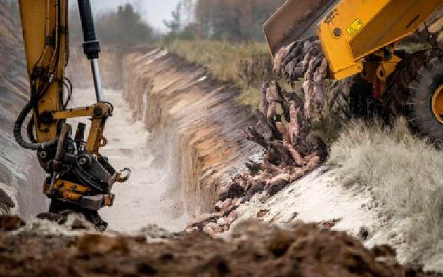 Cientos de visones son enterrados en una fosa en un área militar cerca de Holstebro, en Dinamarca. Foto: EFE