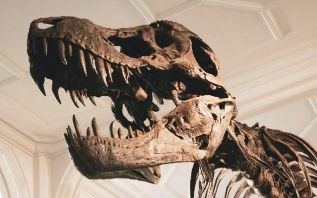 El Tyrannosaurus Rex vivió hace unos 230 millones de años. Foto: Prensa Libre: