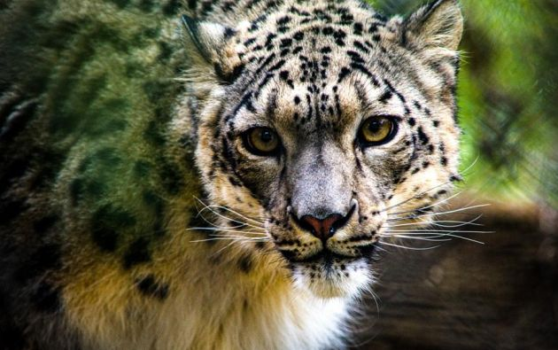 El leopardo de las nieves es una especie de mamífero carnívoro que suele vivir a unos 6.000 metros de altura. Foto: EFE
