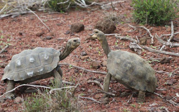 Es la última fase del proceso de introducción de tortugas gigantes en la isla Santa Fe.  Foto: Ministerio de Ambiente