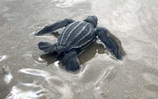 Esta es la segunda ocasión en que se logra la eclosión en la costa de la provincia de Manabí de una especie que tiene un bajo rango de reproducción. Foto: Archivo