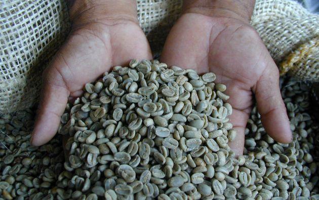La cadena de valor del café es fuente de empleo para más de 105.000 familias ecuatorianas. Foto: Cortesía.