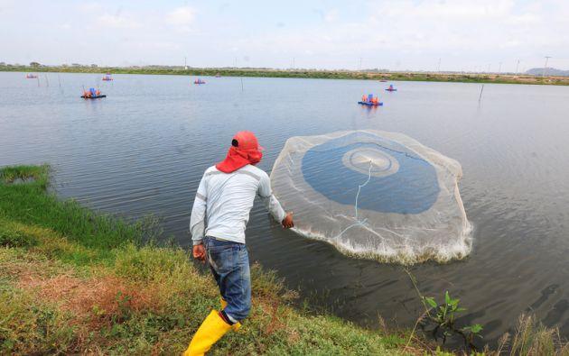 Más de 2.300 camaroneras se beneficiarán. Foto: Vistazo.