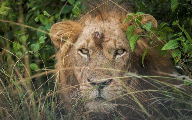 Encuentran cadáveres de seis leones en un parque nacional de Uganda, Los cadáveres de seis leones han sido hallados en el Parque Nacional de la Reina Isabel, en el suroeste de Uganda. Foto: EFE.