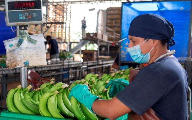 Algo más de 69 millones de cajas de banano vendió Ecuador entre enero y febrero de 2021. Foto César Mera