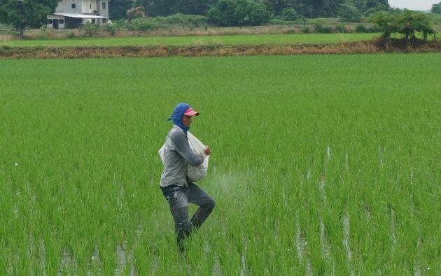 En Ecuador la producción promedio de arroz es de 5,28 toneladas métricas por hectárea. Foto: Vistazo