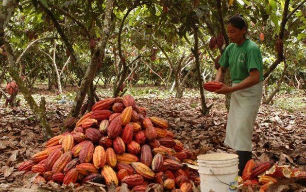 Los cultivos de agricultura, como el cacao, constan en los sectores con más potencial de empleabilidad y emprendimiento en el país.