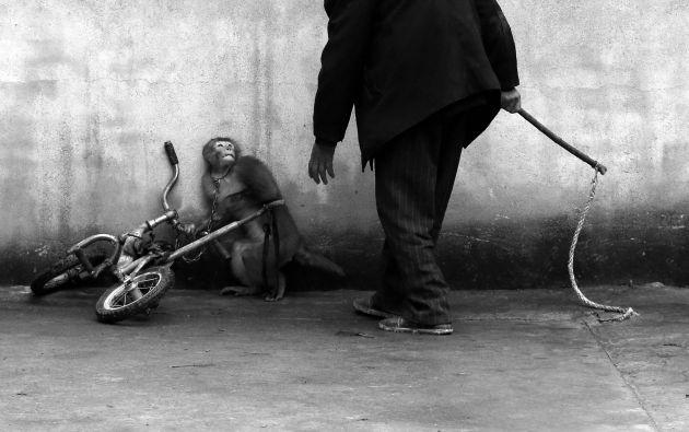 Yongzhi Chu ganó elprimer lugar de la categoría naturaleza por su imagen que muestra un mono siendo entrenado para un circo. Foto: World Press Photo vía REUTERS