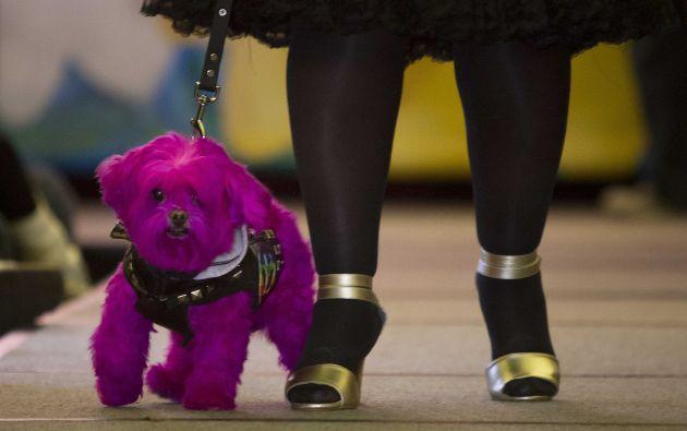 Un perro teñido de color morado atrajo las miradas de los amantes de las mascotas que asistieron al desfile. Foto: REUTERS