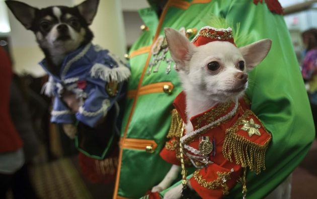 Estos chihuhuas fueron parte del entretenido desfile. Foto: REUTERS