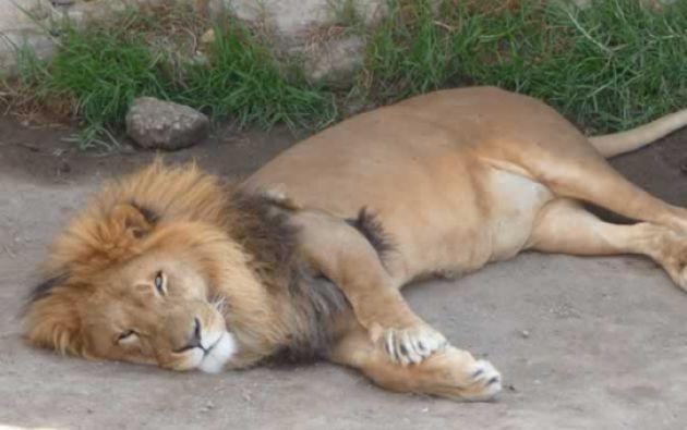 Los leones africanos, fueron durante 10 años la principal atracción del zoológico. Foto: Centro de Rescate Animal Guayabillas