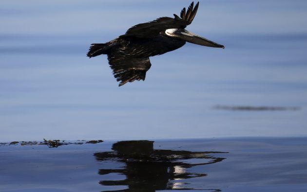 Un pájaro sobrevuela sobre una parte del mar con una mancha de petróleo.