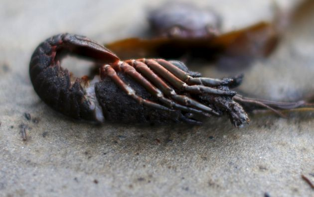 Un camarón afectado por el derrame.