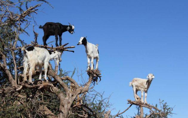 Para poderse librara de sus depredadores las cabras no dudan en treparse en los lugares inesperados. Fuente: mott.pe