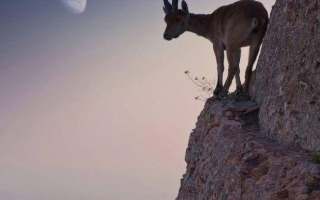 En las estaciones más cálidas, las cabras de montaña mudan al rozarse contra las rocas y los árboles. Fuente: mott.pe