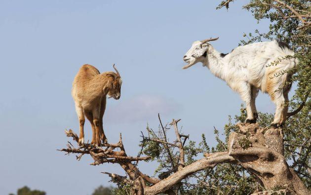 Las cabras que son capaces de saltar y escalar entre ramas mucho más frágiles de lo que aparentan. Fuente: mott.pe