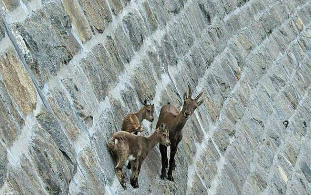 Estos carismáticos animales desafían la gravedad con gracia y se regodean en paisajes ultramontanos lejos de sus depredadores. Fuente: mott.pe