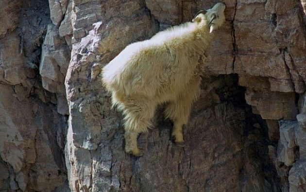 Se cree que las cabras estaban pastoreando, lamiendo las sales y vegetales acumulados sobre las rocas. Fuente: mott.pe
